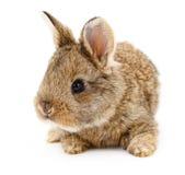 Brown bunny rabbit. Stock Photos