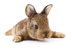 Brown bunny rabbit. Stock Photography