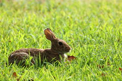 Brown Bunny Rabbit Lying in Green Grass. A cute little brown cotton-tail bunny rabbit lies, resting in a green grassy field on a sunny day royalty free stock photos
