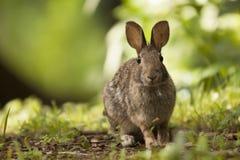 Brown Bunny Rabbit Sitting adulto en Forest Preserve Field, profundidad del campo estrecha foto de archivo