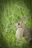 Brown Bunny Rabbit Sitting adulto en Forest Preserve Field, profundidad del campo estrecha foto de archivo libre de regalías