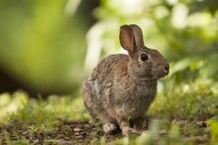 Brown Bunny Rabbit Sitting adulto en Forest Preserve Field, profundidad del campo estrecha Fotos de archivo libres de regalías