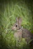 Brown Bunny Rabbit Sitting adulto en Forest Preserve Field, profundidad del campo estrecha Imágenes de archivo libres de regalías