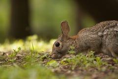 Brown Bunny Rabbit Sitting adulto en Forest Preserve Field, profundidad del campo estrecha Fotos de archivo