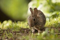 Brown Bunny Rabbit Sitting adulto en Forest Preserve Field, profundidad del campo estrecha Imagenes de archivo