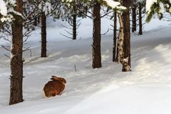 Brown bunny in snowy forest on winter day stock photo