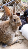 Brown bunny a terrestrial animal Royalty Free Stock Image