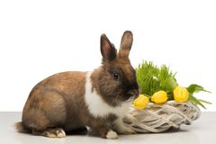 Brown bunny with wicker box and tulips Stock Images