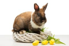 Brown bunny on wicker box and tulips Stock Photography