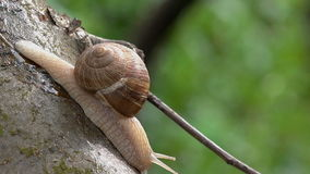 Brown Burgundy Roman Snail or Slug Outdoors stock video footage