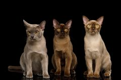 Brown burma cats isolated on black background stock image