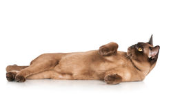 Brown burmese cat Royalty Free Stock Images