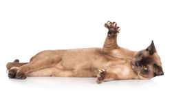 Brown burmese cat. Beautiful brown burmese cat on white Royalty Free Stock Images