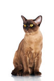 Brown burmese cat Stock Photo