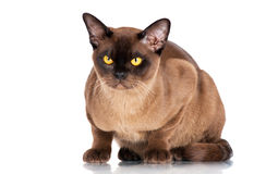 Brown burmese cat. Beautiful brown burmese cat on white Royalty Free Stock Photography