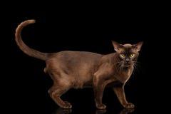 Brown burmese cat  on black background Royalty Free Stock Photo