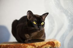 Brown Burmese Cat with Chocolate fur color and yellow eyes, Curious Looking, European Burmese Personality