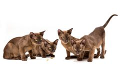 Brown burmese cat. On a white background. Brown burmese cat. Nice cute kitten. On a white background. Place to insert text. For advertising, banners and royalty free stock photo