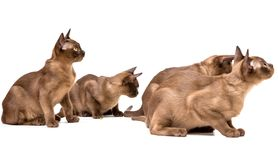Brown burmese cat. On a white background. Brown burmese cat. Nice cute kitten. On a white background. Place to insert text. For advertising, banners and royalty free stock photography