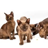 Brown burmese cat. On a white background. Brown burmese cat. Nice cute kitten. On a white background. Place to insert text. For advertising, banners and stock photography