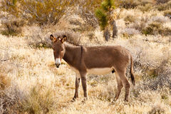 Brown Burro in Desert Scrub Brush Stock Photography