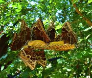 Brown Butterflies Eating Fruit Stock Photography