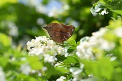 Brown butterflies perch on white flowers and fresh green leave. S in the morning royalty free stock images