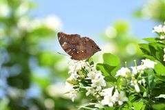 Brown butterflies perch on white flowers and fresh green leave. S in the morning stock image