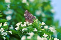 Brown butterflies perch on white flowers and fresh green leave. S in the morning stock images