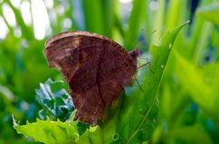 Brown butterflies perched on green leaves. Take from the side view Royalty Free Stock Photography