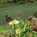 Brown butterflies and yellow zinnia flowers stock image