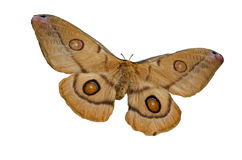 The Brown Butterfly. Brown butterfly isolated on a white background Royalty Free Stock Image