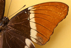 A brown butterfly Royalty Free Stock Photos