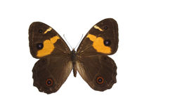 The Brown Butterfly 16. Brown butterfly isolated on a white background Royalty Free Stock Photos