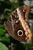 Brown Butterfly. A close up of the detail on a brown butterfly Royalty Free Stock Photo