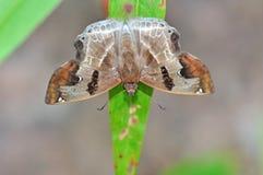 Brown butterfly. (Odontoptilum angulatum, Chestnut Angle) on nature Stock Photos