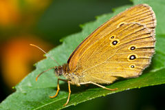 Brown butterfly royalty free stock photo