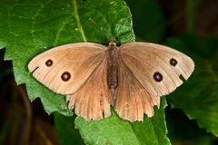Brown butterfly Stock Photos