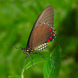 Brown Butterfly. Resting on a Leaf Royalty Free Stock Photo