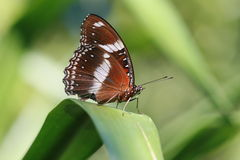 Brown Butterfly Stock Photo