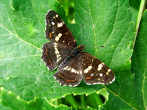 Brown butterfly. Sitting on leaves Royalty Free Stock Photos