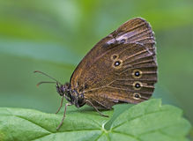 Brown butterfly - Aphantopus hyperantus Stock Photo