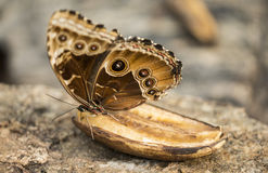 Brown butterfly Royalty Free Stock Images