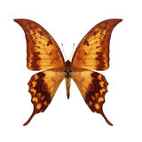 Brown Butterfly Royalty Free Stock Image
