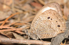 Brown Butterfly. Camoflauged against a brown foilage background Royalty Free Stock Photos