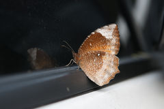 Brown Butterfly. On a car window Stock Photo
