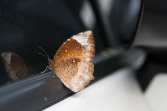 Brown Butterfly. On a car window Royalty Free Stock Images