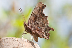 Brown  butterfly, close up Stock Photos