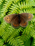 Brown Butterfly. Close up of a brown butterfly on a Tara mountain Royalty Free Stock Images