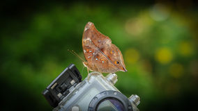 Brown butterfly closeup Royalty Free Stock Photography
